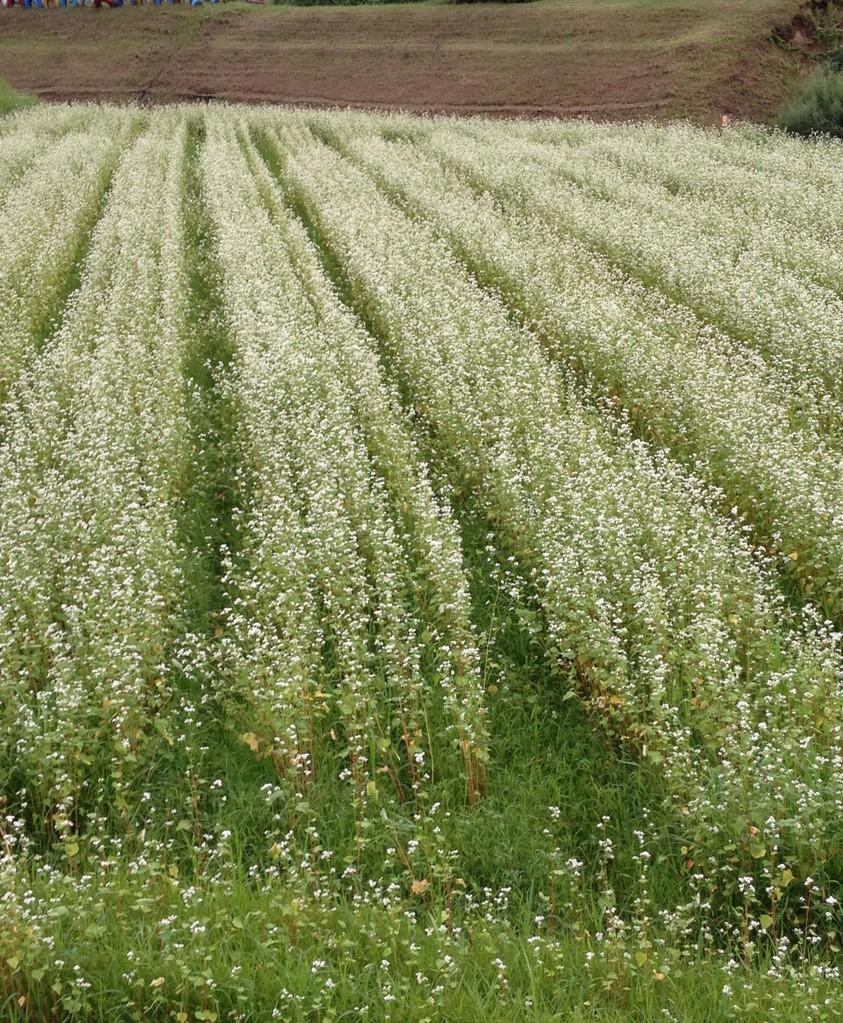 8月:蕎麦の花が満開♪