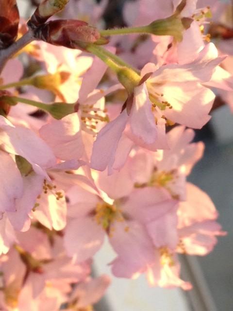 さくら咲く♪(早咲きの慶應桜)