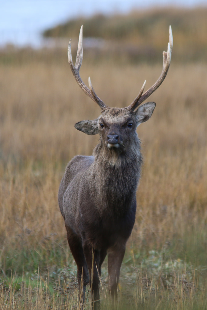 Moody looking sika stag...