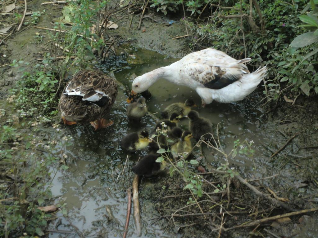 Entenfamilie auf der Norbert Mission