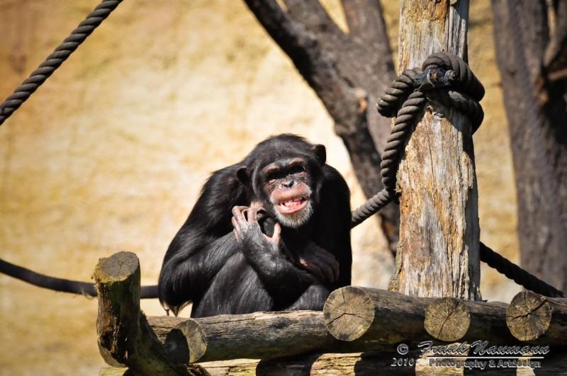 Schimpanse im Leipziger Zoo