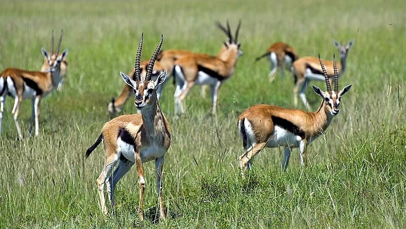 Kenya. Gazzelle di Thomson (Eudorcas thomsonii)