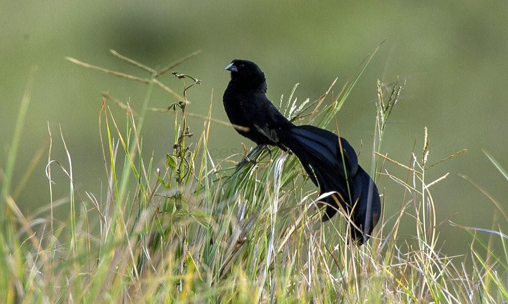 Vedova di Jackson - Jackson's Widowbird - (Euplectes jacksoni)