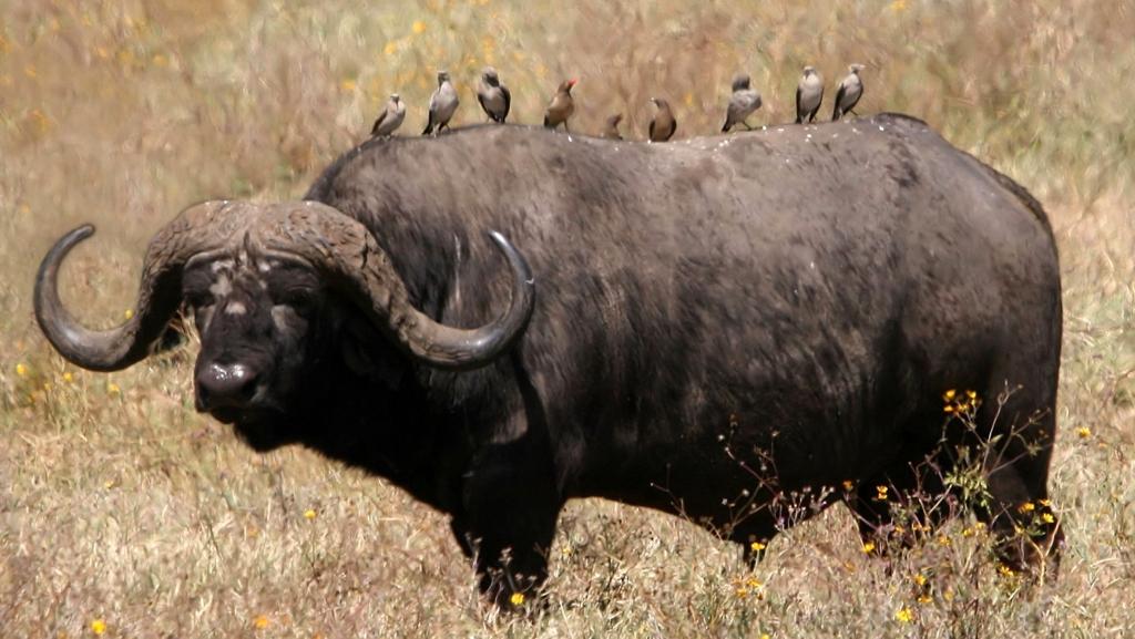 Bufalo cafro