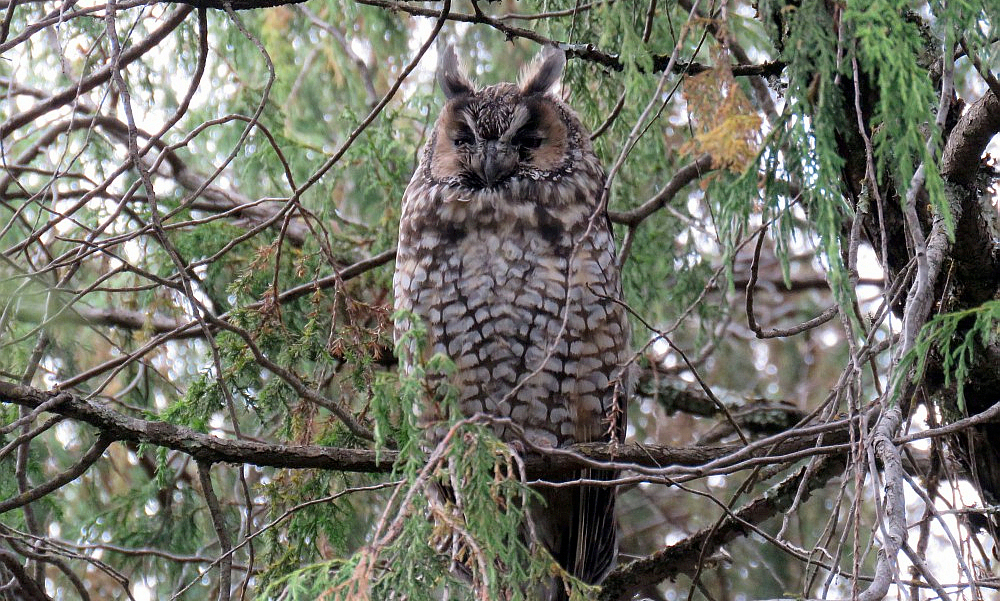 Gufo africano o Gufo d'Abissinia - Abyssinian Owl - (Asio abyssinicus)