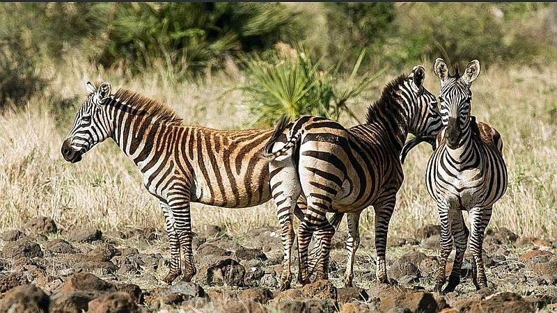 Zebre di Burchell. Parco Nazionale Meru