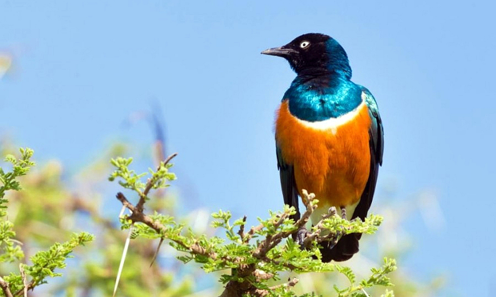 Storno superbo - Superb Starling - (Lamprotornis superbus)