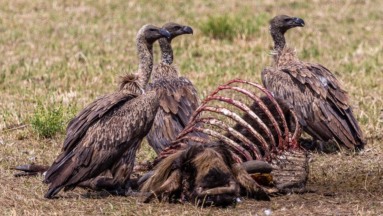 Avvoltoi si cibano della carcassa di uno gnu.