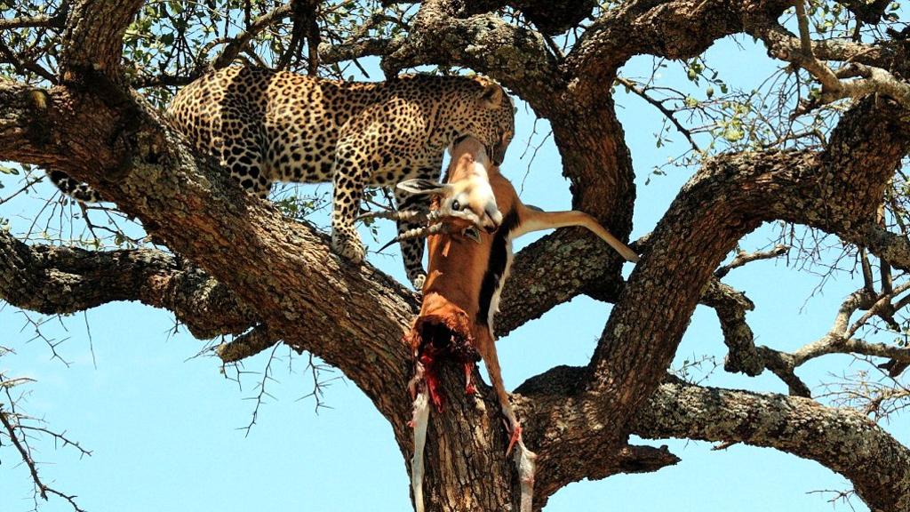 Leopardo trascina il suo pranzo sull'abero