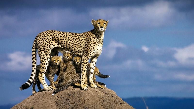 Kenya. Ghepardo ed i suoi piccoli