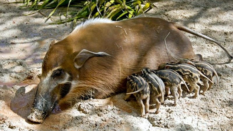 Kenya. Potamocero (Potamochoerus porcus)