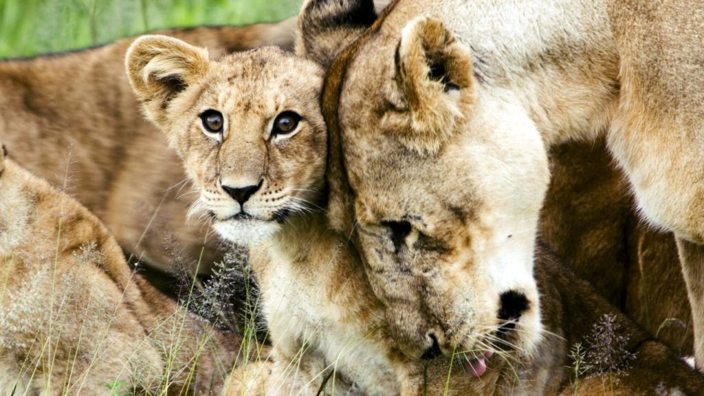 Cucciolo di leone con la madre. All'interno di un branco lo sfregamento della testa e la leccata sono diffuse dimostrazioni di affetto