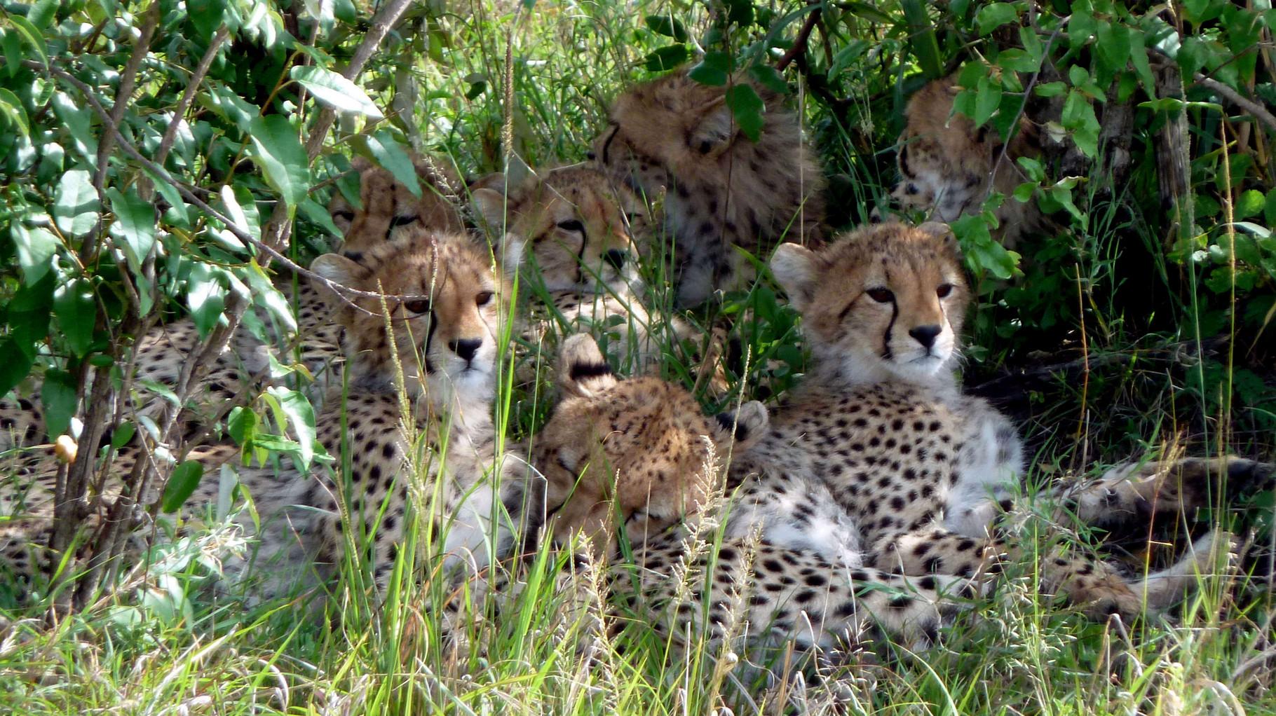 Kenya Vacanze - Ghepardi