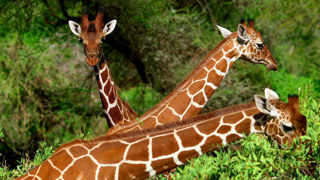 Kenya Vacanze - Giraffe