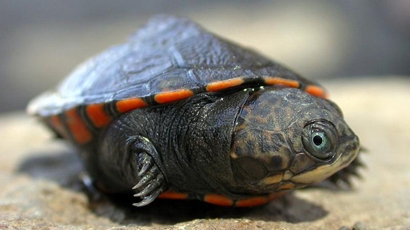 Kenya. Tartaruga di fango del lago Turkana (Pelusios broadleyi)