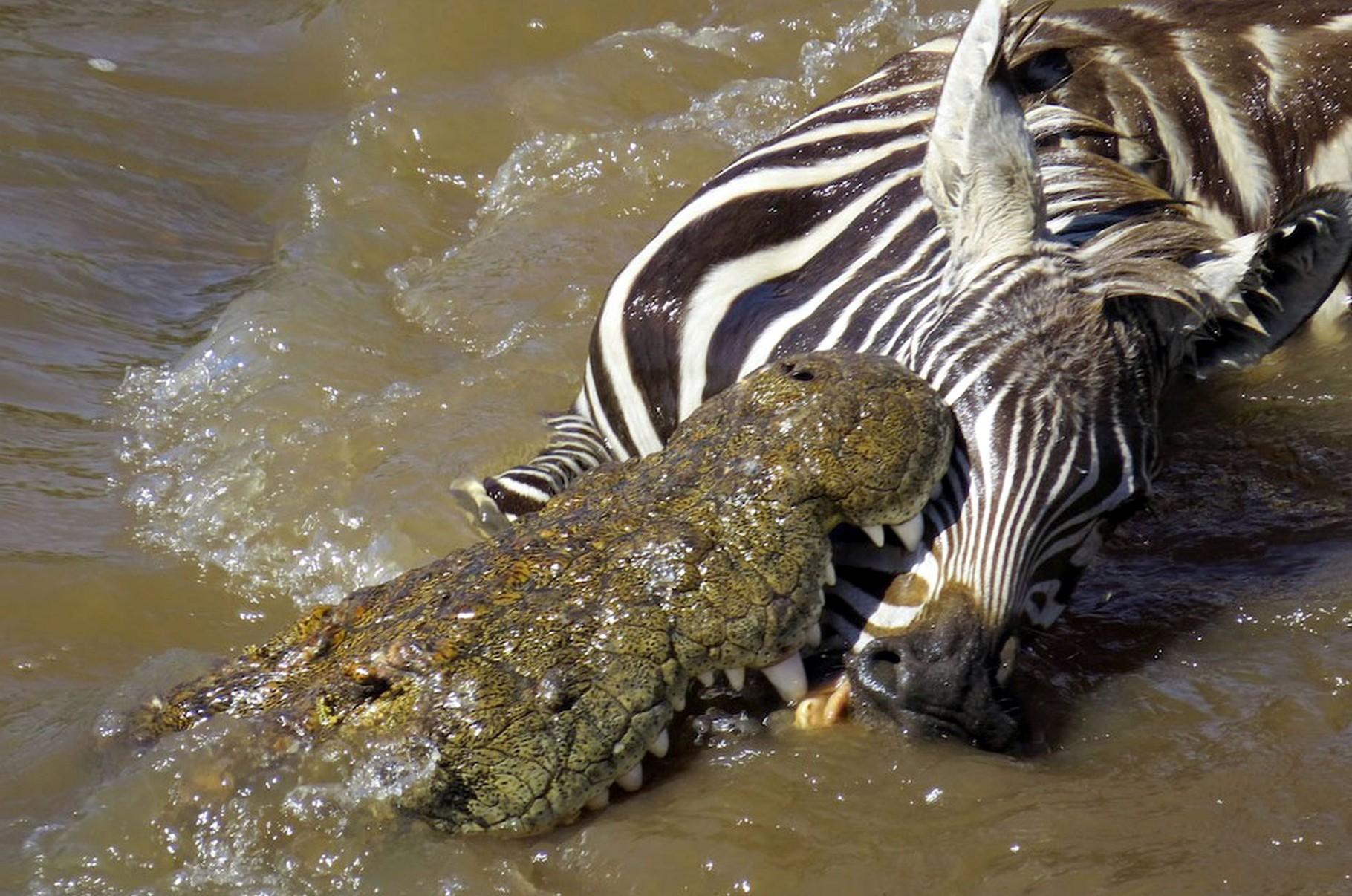 Coccodrillo vs. Zebra