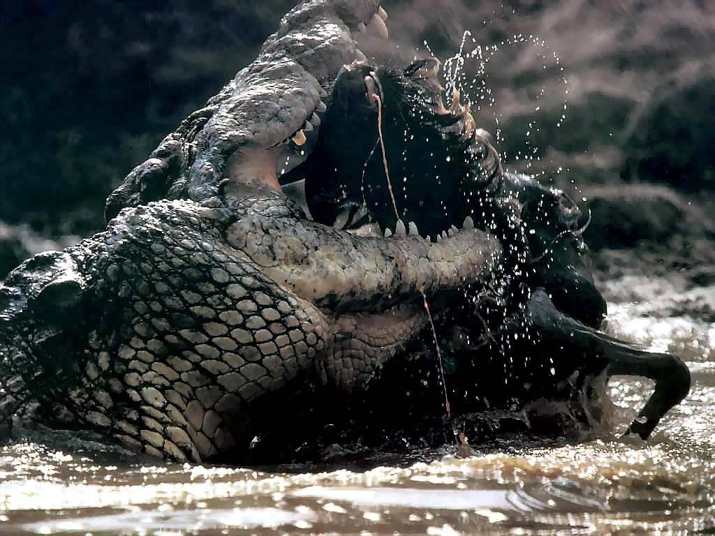 Fiume Mara, Kenya. Pericolosi attacchi del Coccodrillo del Nilo
