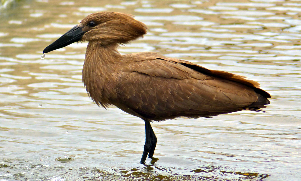 Umbretta - Hamerkop - (Scopus umbretta)
