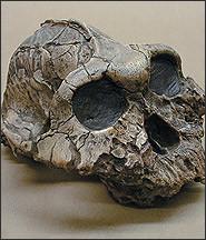 Scoperto da Mary Leakey nel 1959 a Olduvai Gorge, Tanzania, l' Australopithecus boisei (originariamente chiamato Zinjanthropus boisei) è stato un ominide precoce.