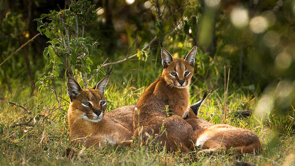 Kenya Vacanze - Caracal