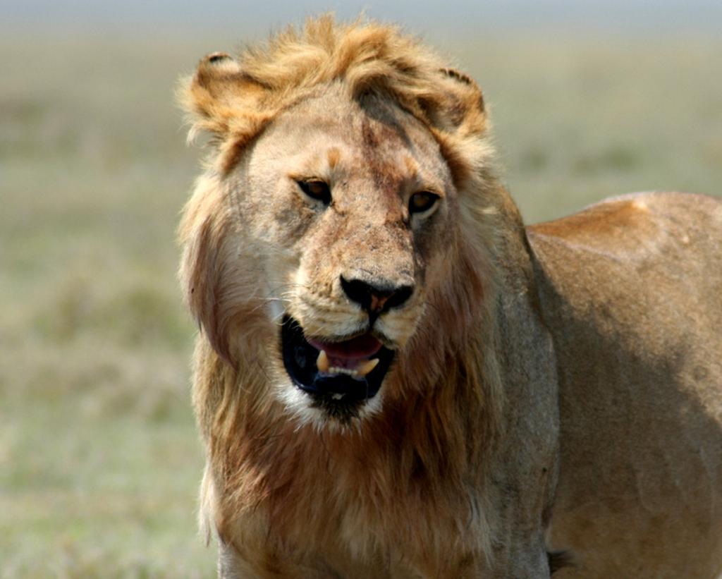 Giovane leone maschio nel Serengeti
