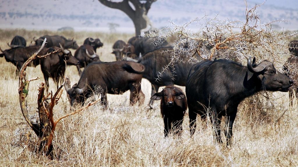 Bufali del Capo