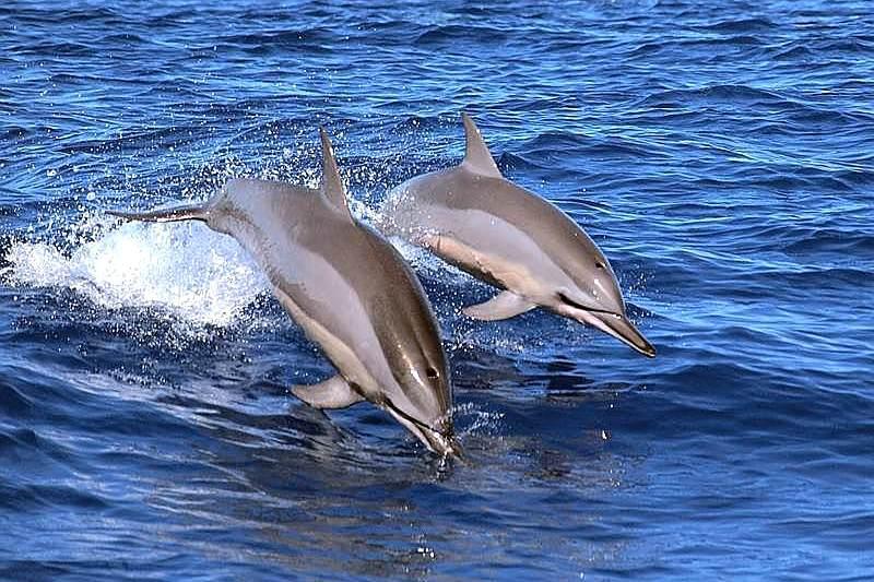 Spinner delfino (Stenella longirostris)