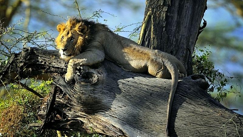 Kenya. Leone (Panthera leo). Lago Nakuru