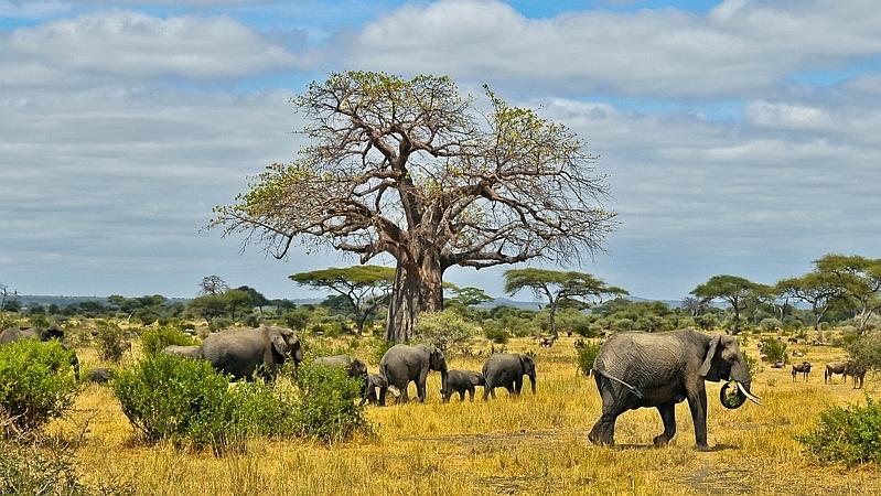 Kenya. Elefanti africani - Elephants (Loxodonta africana)