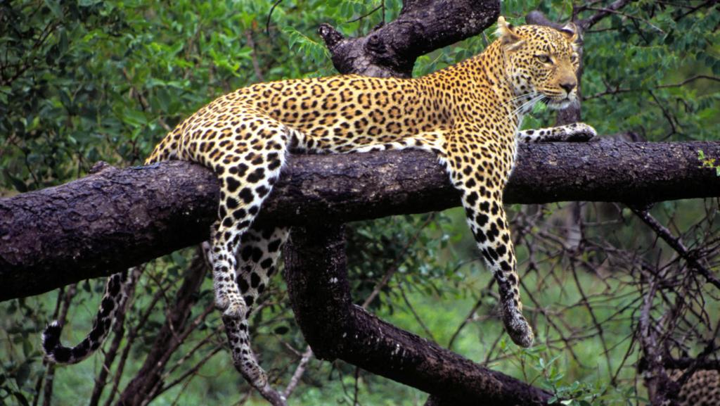 Leopardo riposa su un albero