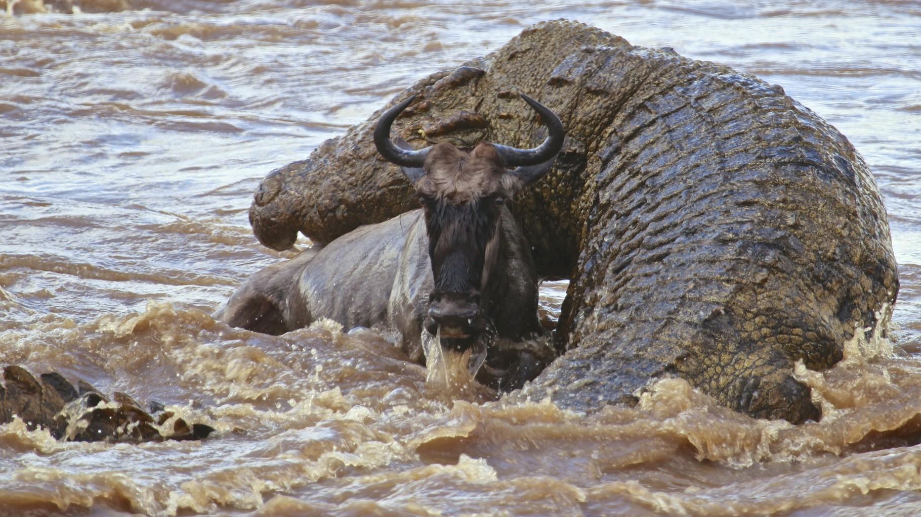 Fiume Mara, Kenya. Coccodrillo del Nilo