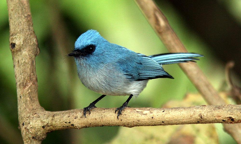 Pigliamosche azzurro africano - African Blue Flycatcher - (Elminia longicauda)