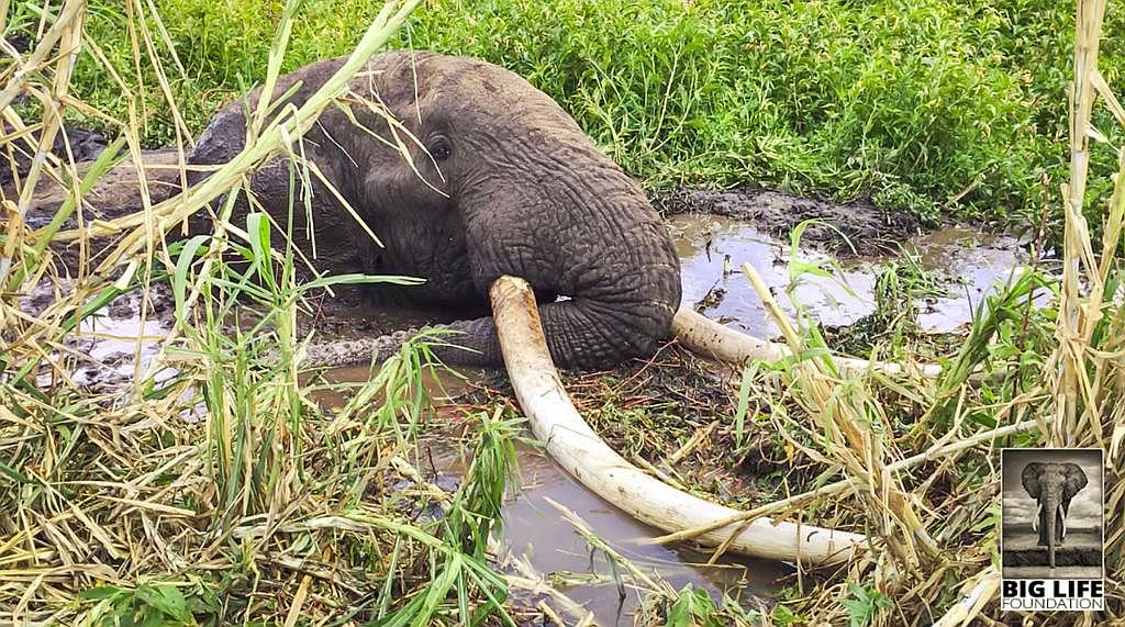 Il salvataggio in Kenya dell'elefante Tim