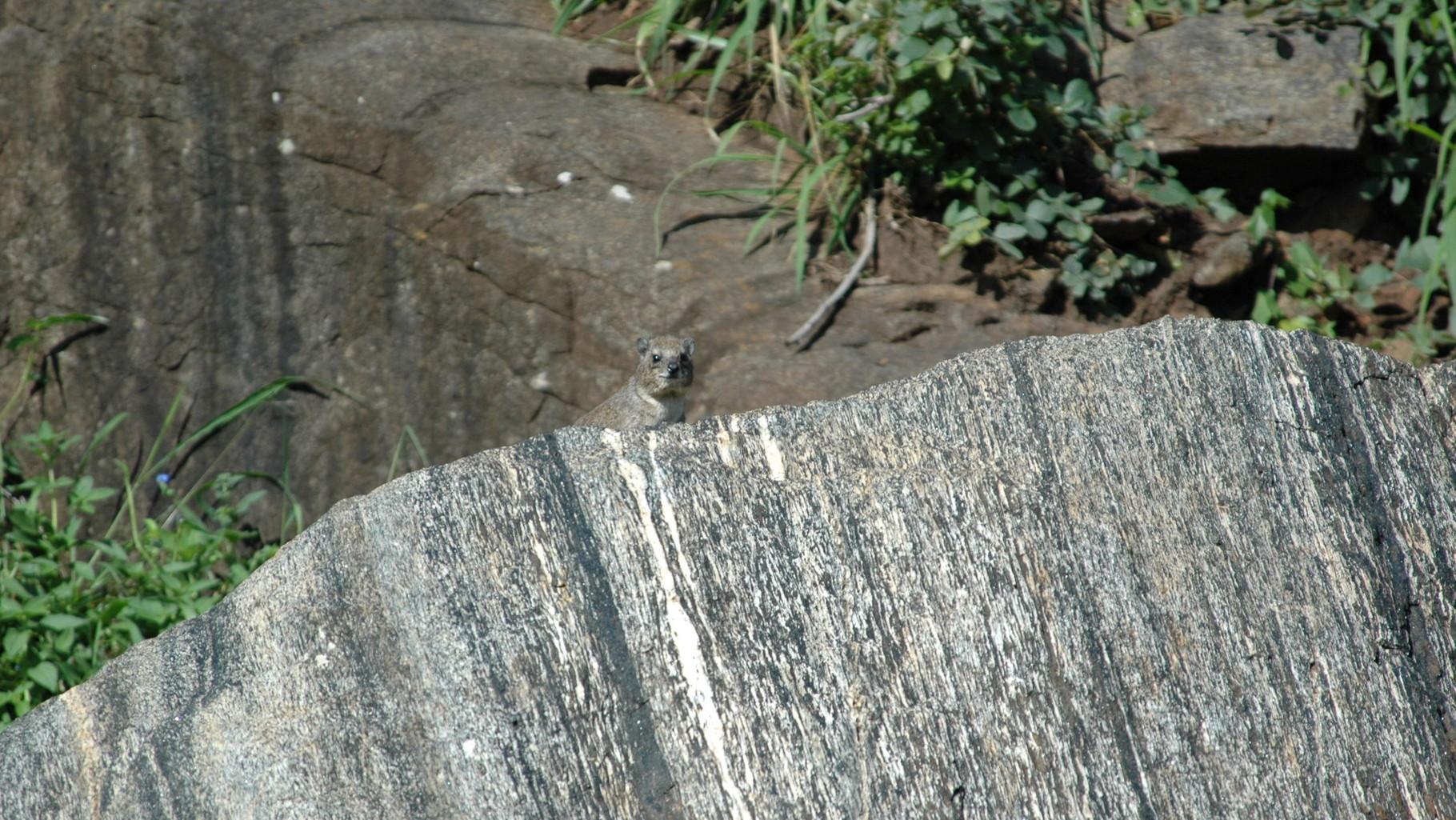 Rock Hyrax sulla tomba di William Northrup Macmillan