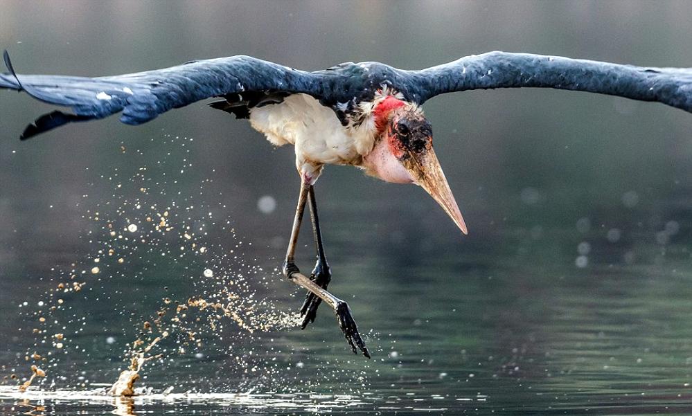 Cicogna Marabù africana - Marabou stork - (Leptoptilos crumenifer)