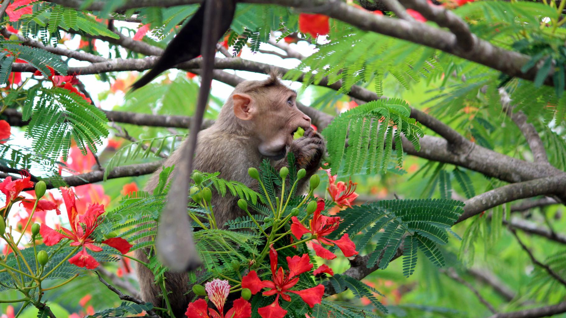 Macaco si alimenta con baccelli di Flamboyant.