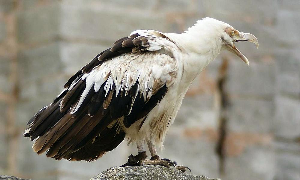 Avvoltoio delle palme - Palm nut Vulture - (Gypohierax-angolensis)