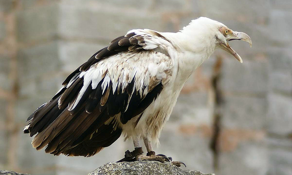 Avvoltoio delle palme - Palm nut Vulture - (Gypohierax angolensis)