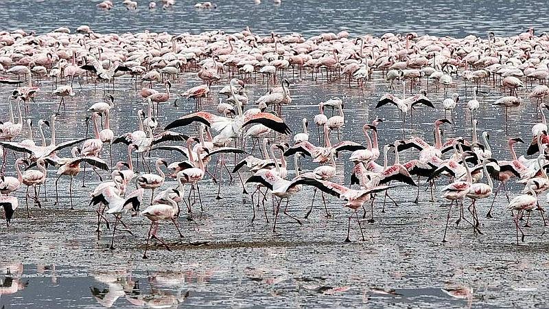 Fenicotteri minori. Riserva Nazionale lago Bogoria