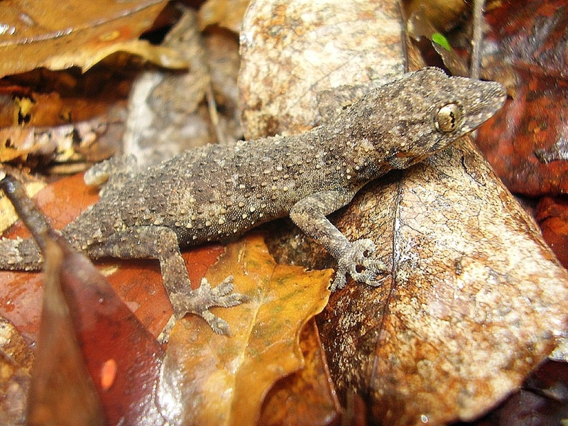 Geco Kaya (Hemidactylus mrimaensis)