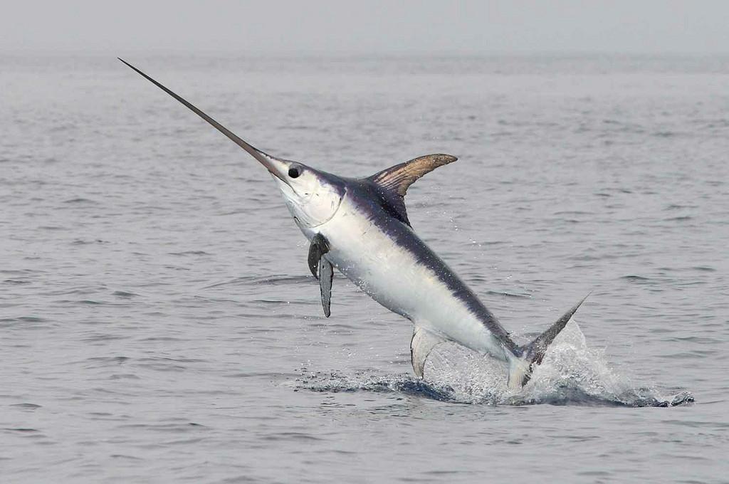 Broadbill Swordfish - Copyright Pierre Jaquet, picomyisland.org