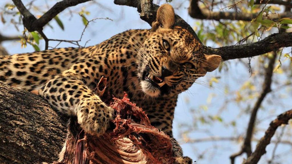 Leopardo divora la sua vittima
