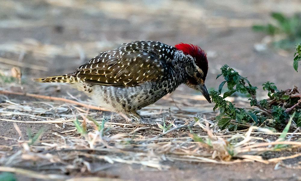 Picchio nubiano - Nubian Woodpecker - (Campethera nubica)