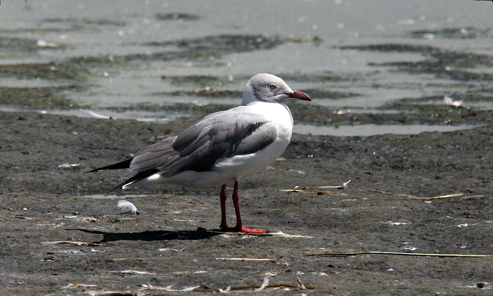 Gabbiano testagrigia - Grey-headed Gull - (Chroicocephalus cirrocephalus)