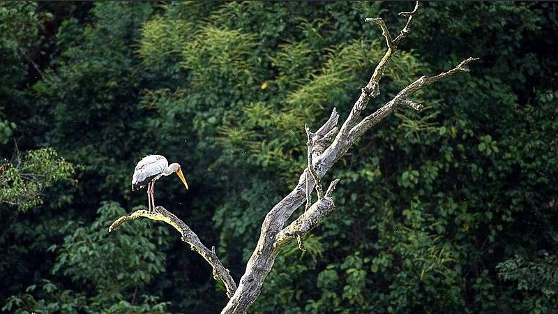 Cicogna dal becco giallo. Saiwa Swamp National Park