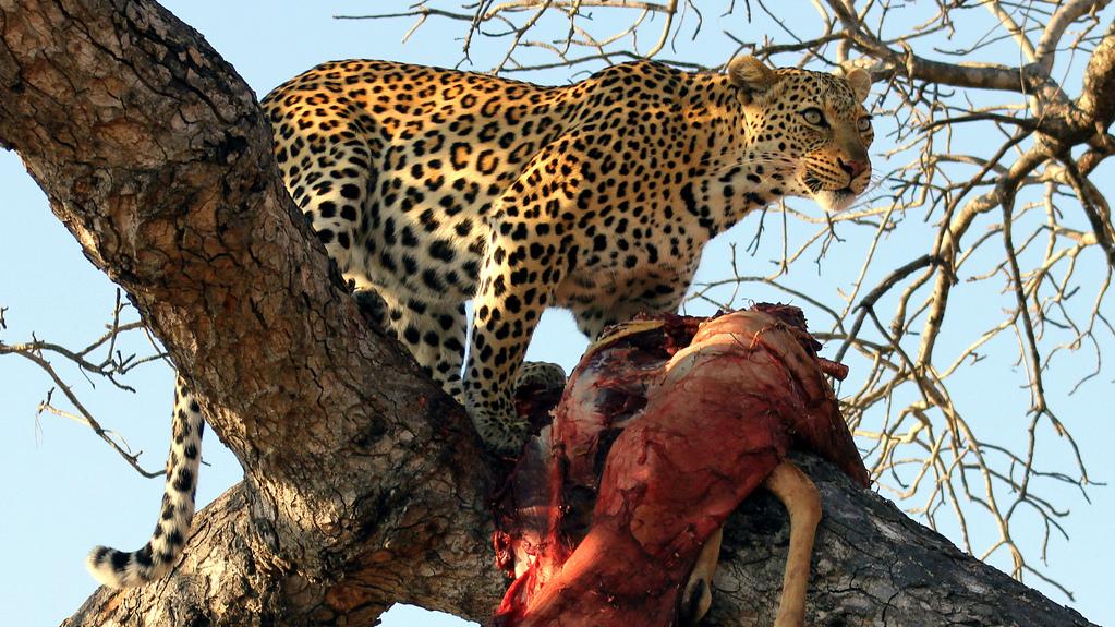 Leopardo con la sua vittima. Sud Africa