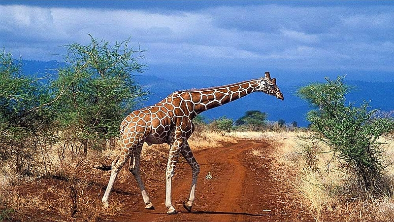 Giraffa reticolata. Meru National Park