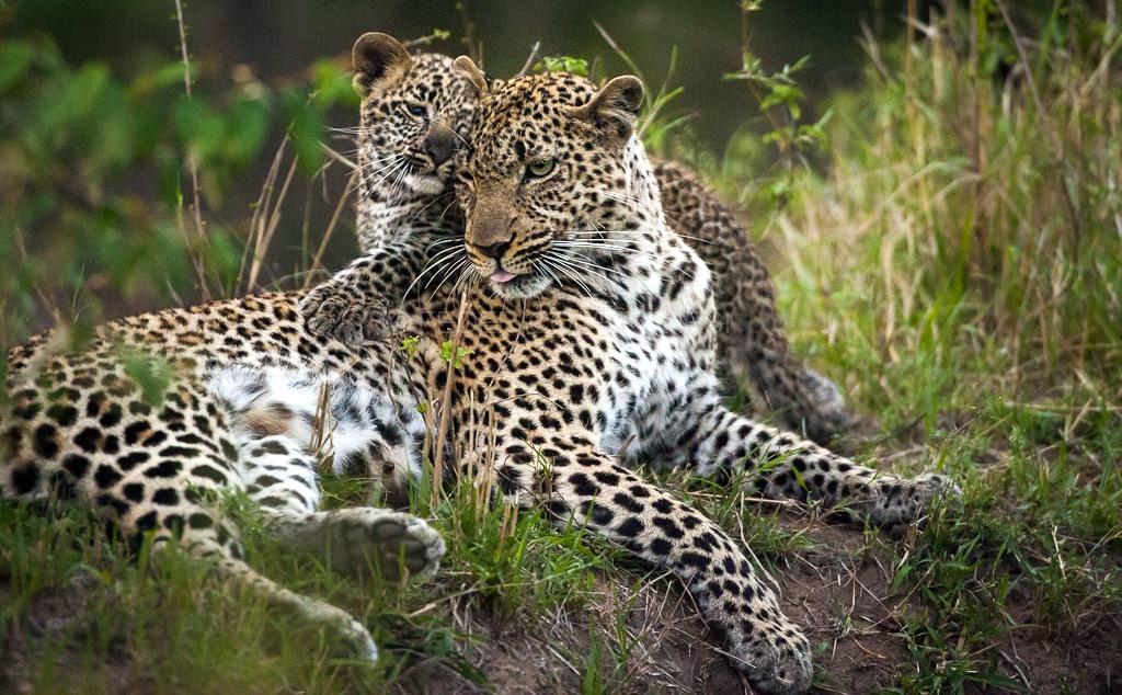 Leopardi Masai Mara, Kenya