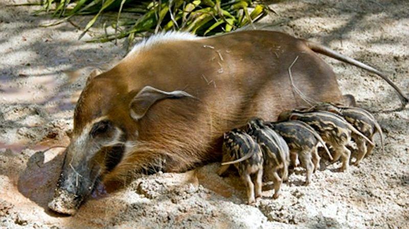 Potamocero - Red river Hog (Potamochoerus porcus)