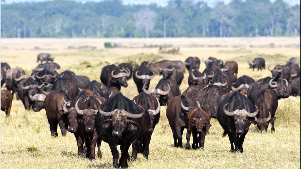 Mandria bufali neri